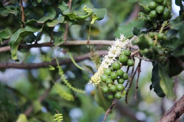 macca đắk lắk LÀ hạt mắc ca được trồng tự nhiên ở đắk lắk và là loại hạt có giá trị dinh dưỡng tự nhiên